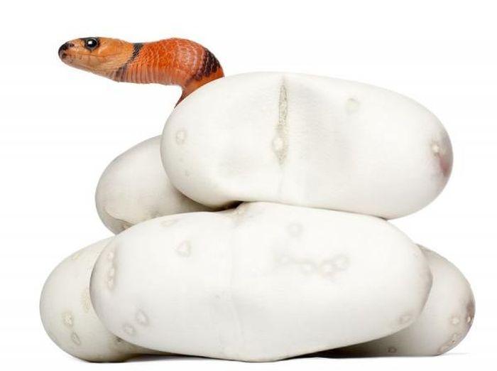 Первые минуты жизни змеи (13 фото)