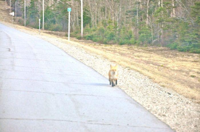 Любопытная лиса на дороге (5 фото)