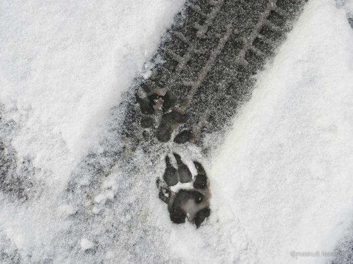 Следы диких животных (10 фото)