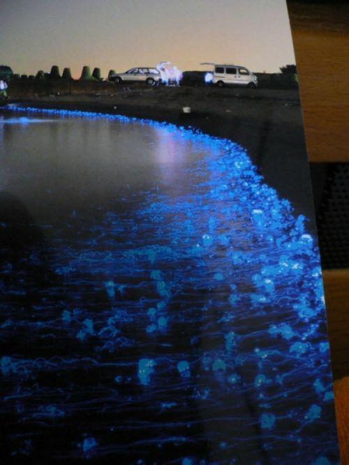 Светящиеся медузы в Японии (6 фото)