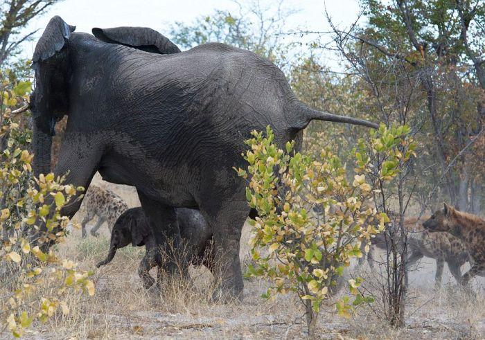 Фото пизда слониха фото 22-390