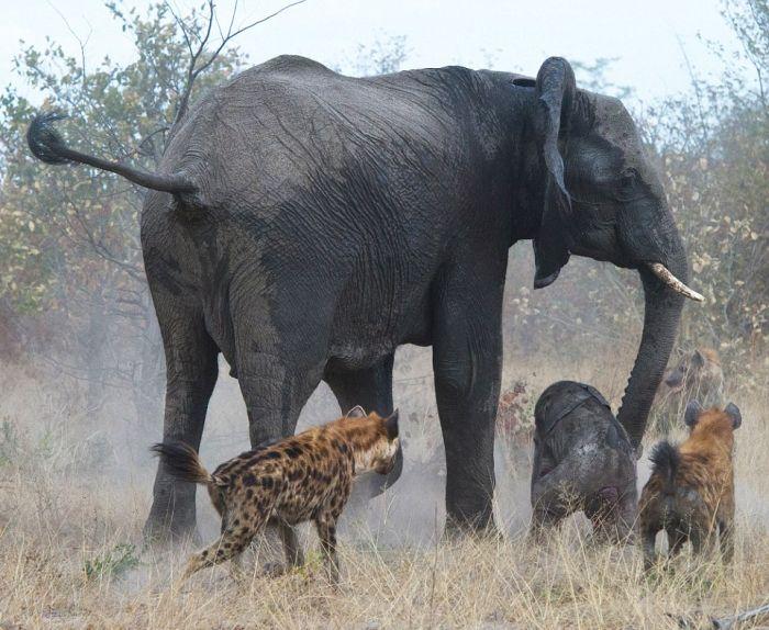 Фото пизда слониха фото 22-71