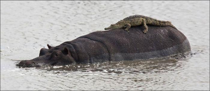 Наглый крокодил (2 фото)