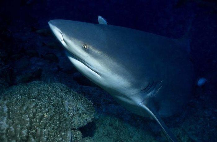 Акула-бык (26 фото)