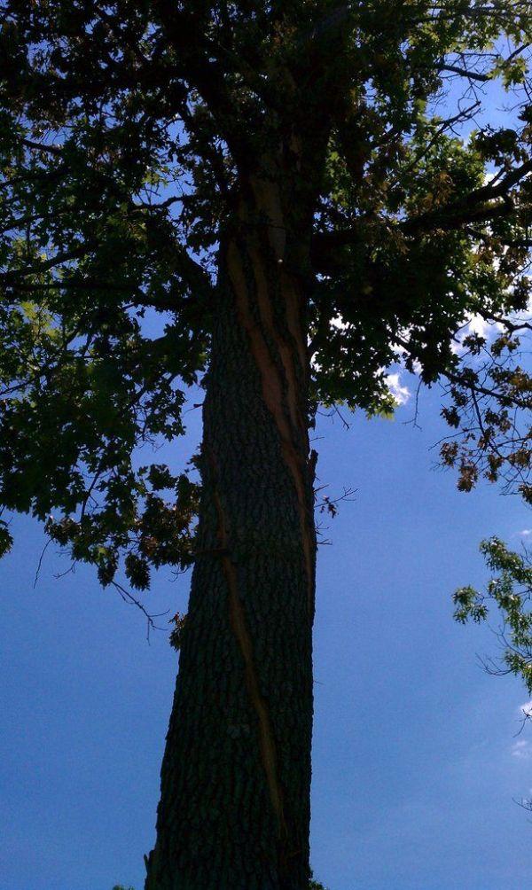 Дерево после удара молнии (4 фото)