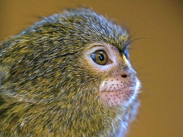 Cüce İpek Maymunu