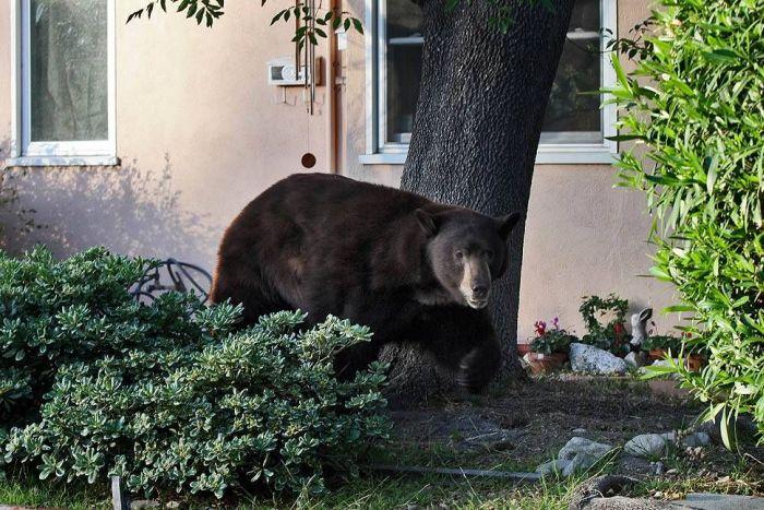 Медведь в пригороде Лос-Анджелеса (12 фото)
