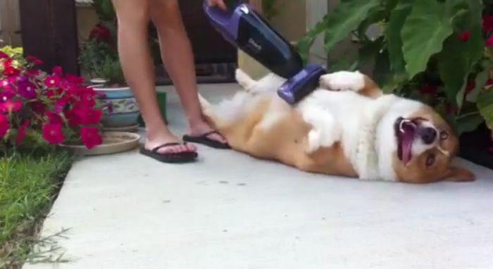 Как пропылесосить свою собаку (14 фото)