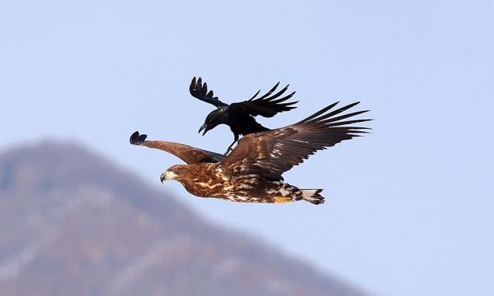 Наглая ворона (4 фото)