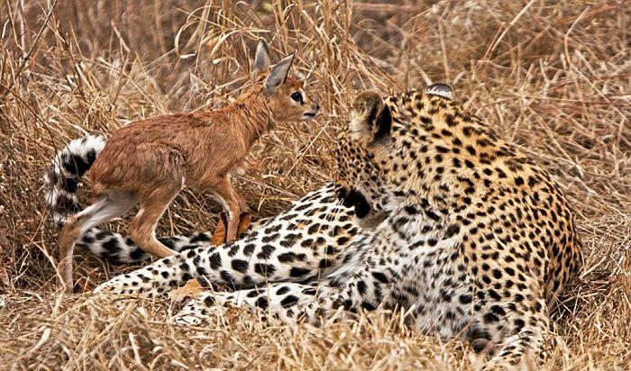Леопард и маленький олененок (4 фото)