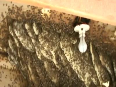 Пчелиное гнездо в жилом доме