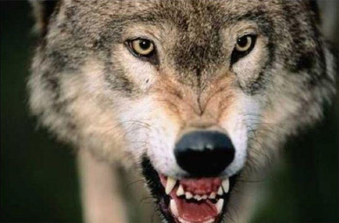 Зачастую, живя в самых суровых уголках планеты, волки частенько поедают своих раненых или больных сородичей.