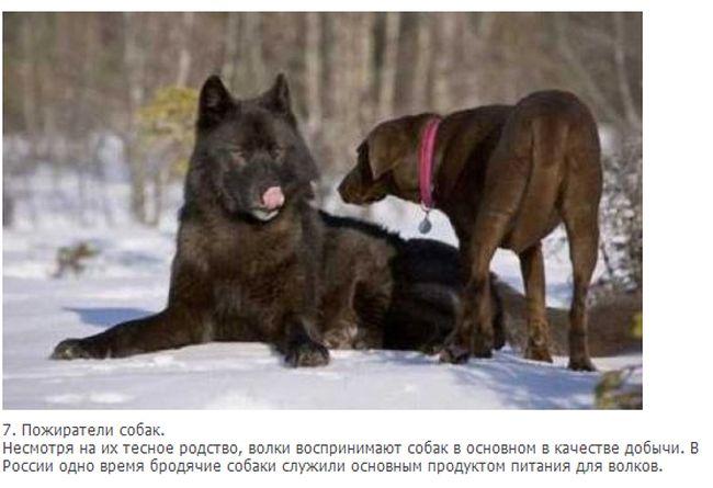 Факты о волках (10 фото + текст)