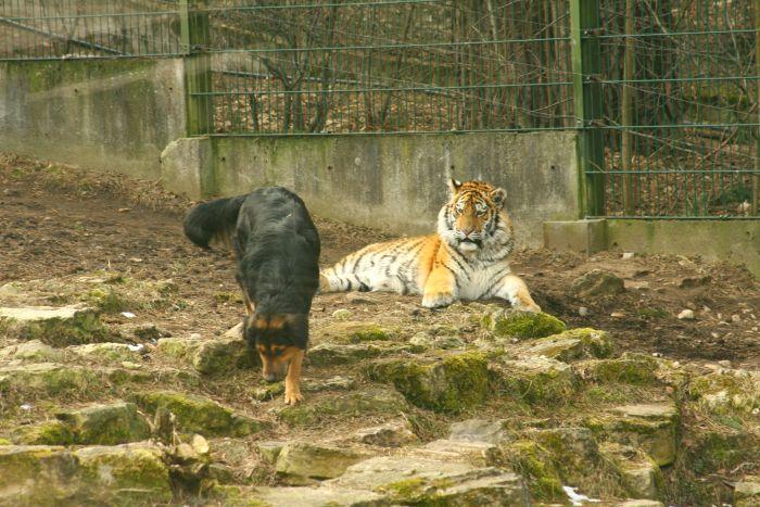 В гости к тигру (20 фото)