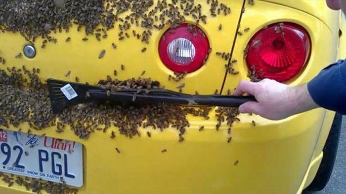 Chevrolet Cobalt SS облюбовали пчелы (6 фото)