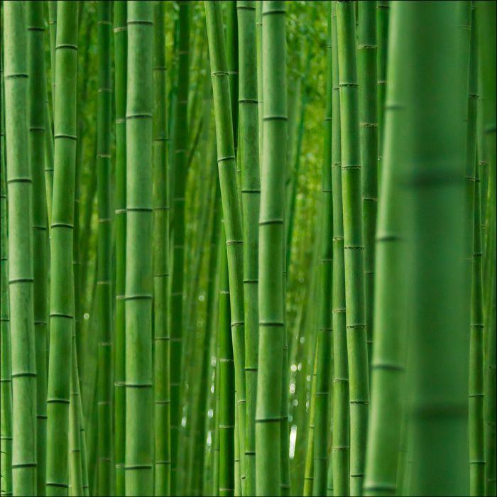 Бамбуковый лес (12 фото)