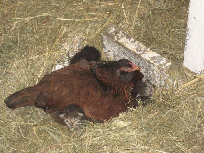 Заботливая курица (4 фото)
