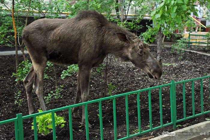 Лоси навестили московский дворик (9 фото)