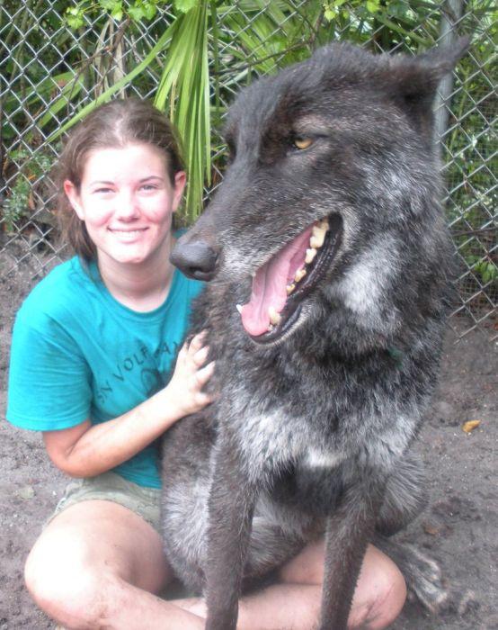 Домашний волк (9 фото)