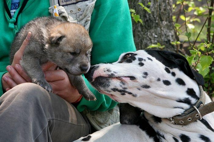 Собака усыновила волчонка (4 фото + видео)