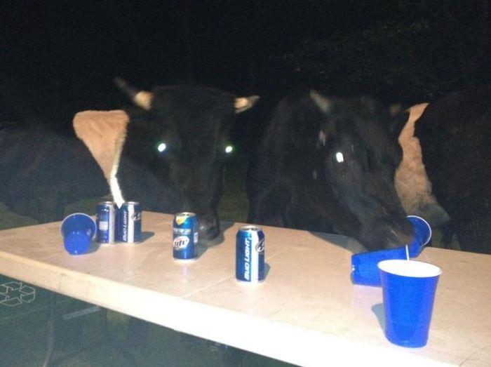Коровы любят пиво (5 фото)