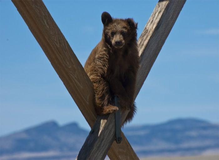 Медведь-экстремал, или как снять медведя с ЛЭП (3 фото)