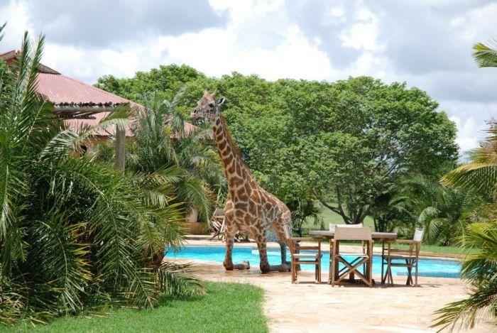 Водные процедуры жирафа (6 фото)