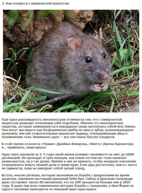 5 пугающих фактов про крыс (5 фото + текст)