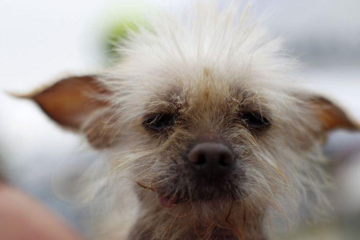 Конкурс на самую уродливую собаку 2012 (16 фото)