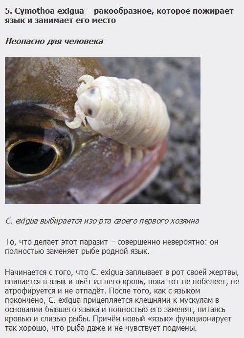 ТОП-10 самых хитроумных паразитов (10 фото + текст)