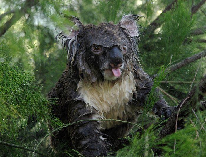 Как выглядит коала без стилиста? (3 фото)