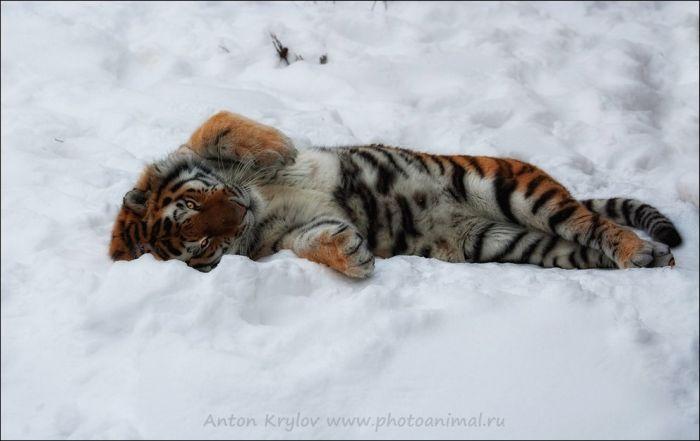 Дикие кошки (100 фото)