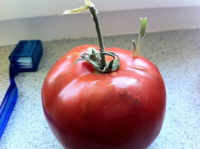 Забытый помидор (12 фото)