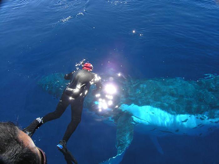 Дайвинг с китами (12 фото)
