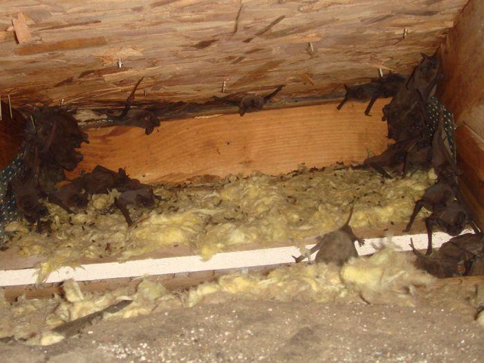 Летучьи мыши захватывают жилые помещения и дома (26 фото)