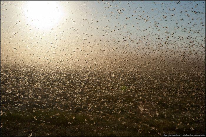 Туман из саранчи в Калмыкии (4 фото)