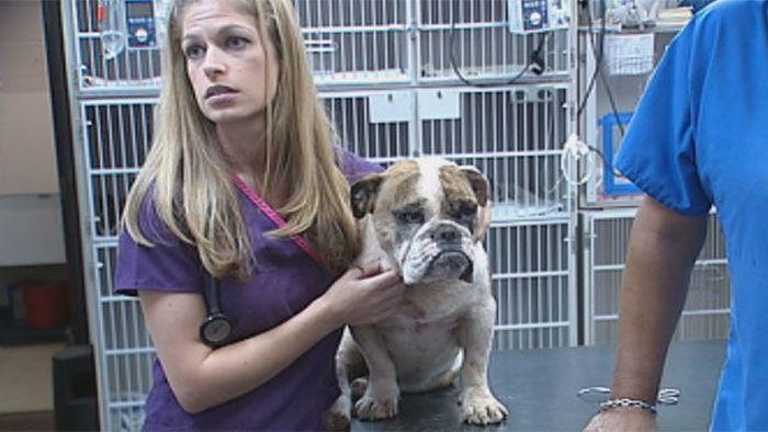 Bulldog ve kirpi karşılaşması (7 fotoğraf)