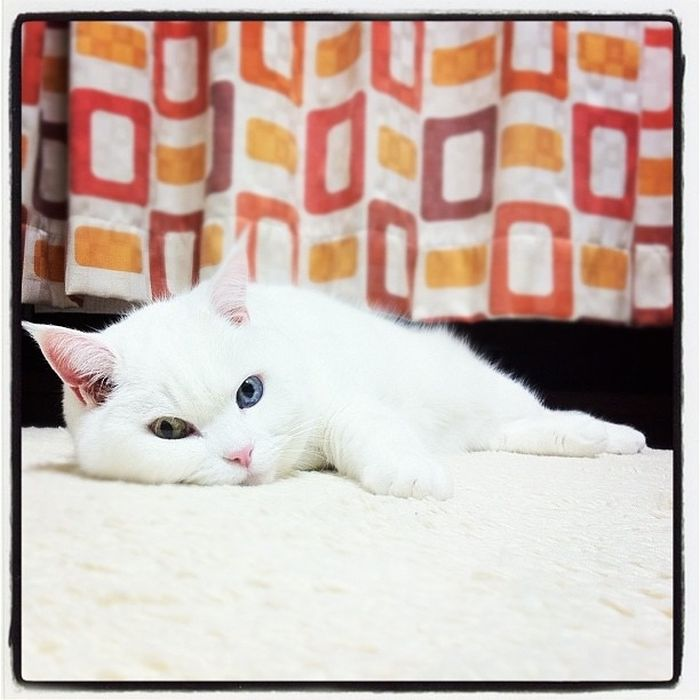 Çift Renkli Gözleri Olan Kediler (60 Fotograf)
