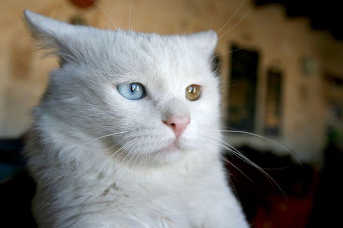 Коты с разноцветными глазами (60 фото)