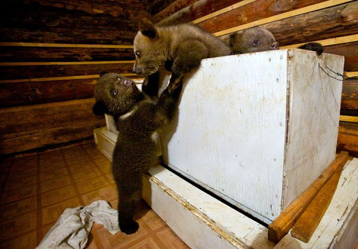 Бывший охотник теперь спасает медведей (16 фото)