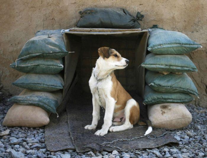 Преданные собаки на службе армии (69 фото)
