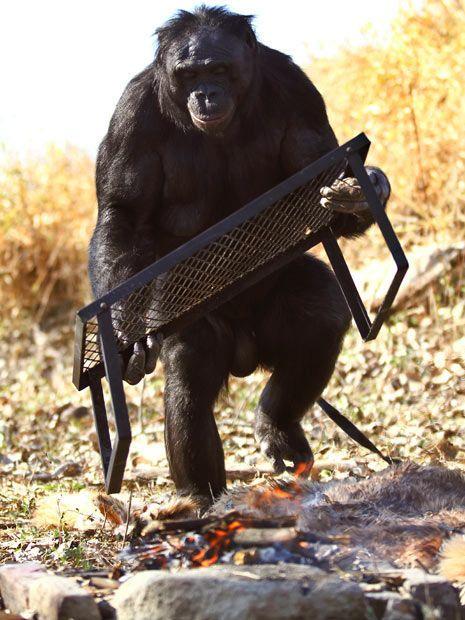 Шимпанзе Канзи любит пикники (11 фото)