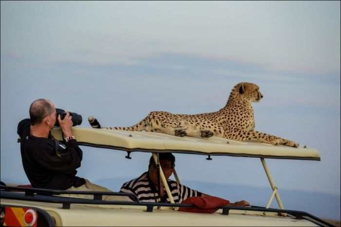 Как делают опасные снимки животных с сафари (3 фото)