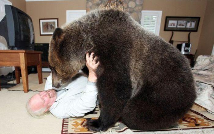 """""""Домашний"""" медведь гризли любит смотреть телевизор (19 фото)"""