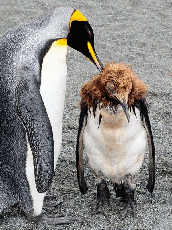 Нелегко живется пингвинам в период полового созревания (2 фото)