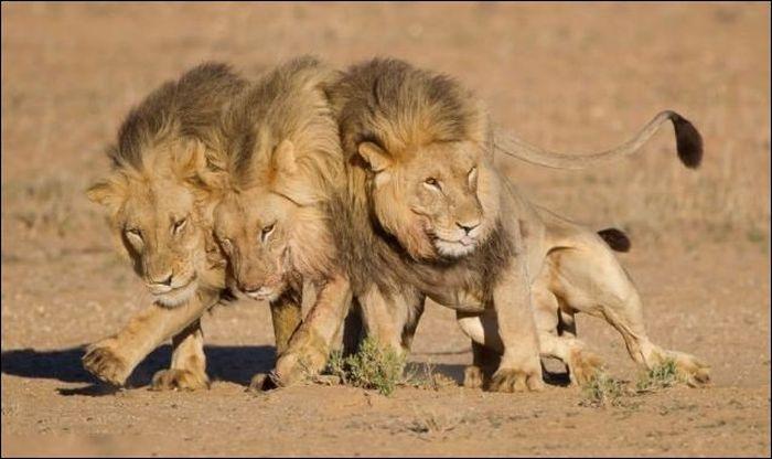Три льва вышли из бара... (4 фото)