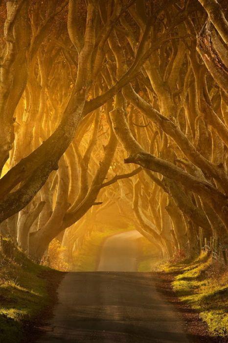 Аллея из буков в Ирландии (16 фото)