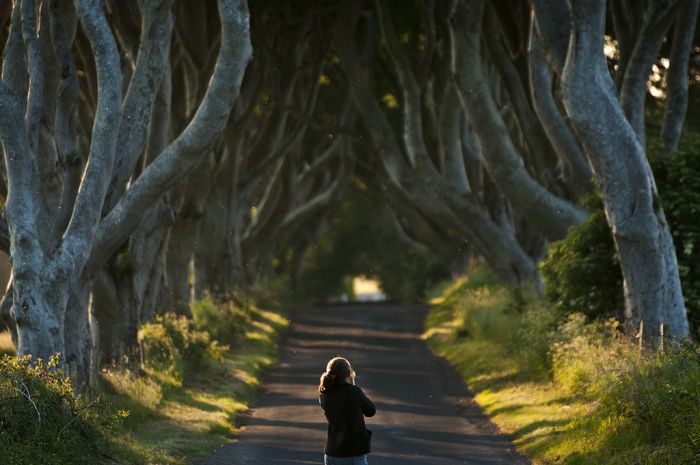 İrlanda'da Kayın Ağaçlarından Tünel(16 Fotograf)