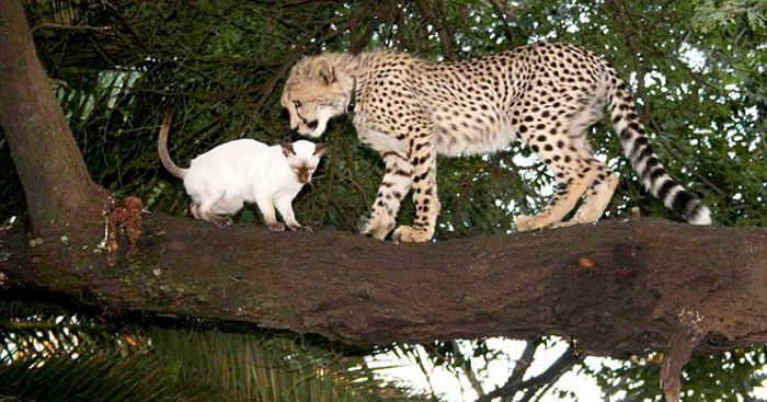Домашний гепард (22 фото)