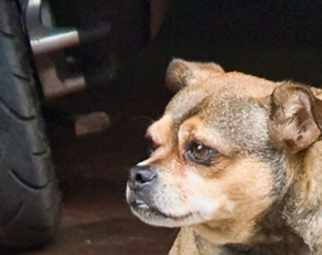 Собака-обожрака (8 фото)